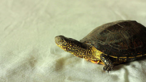 Turtle 3 Stock Video Footage
