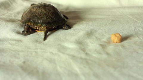 Turtle 5 Stock Video Footage