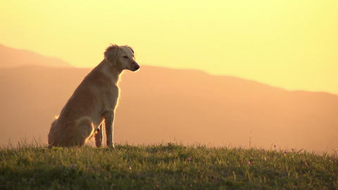 Asian Hound HD Stock Video Footage