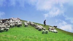 Flock of sheep in a green meadow Footage