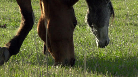 Horses Graze HD Stock Video Footage