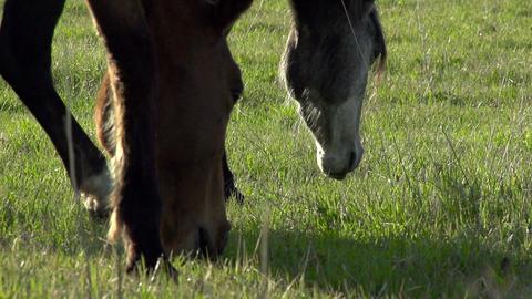 Horses Graze HD Stock Video Footage