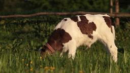 Calf Stock Video Footage