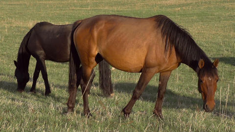 Horses on Pasture HD Stock Video Footage