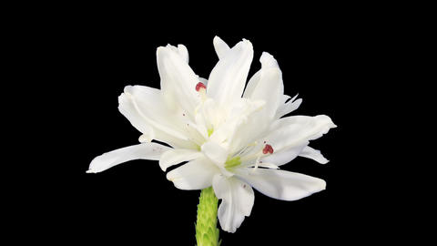 Blooming white lily flower Footage