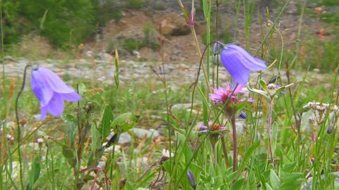 Campanula persicifolia (Peach-leaved Bellflower) Stock Video Footage