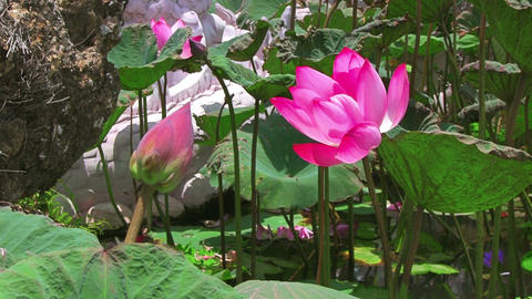 Water lily Stock Video Footage