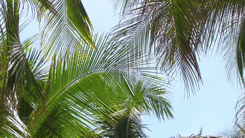 Coconut palm on the blue sky background Stock Video Footage