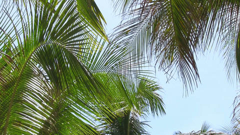 Coconut palm on the blue sky background Footage
