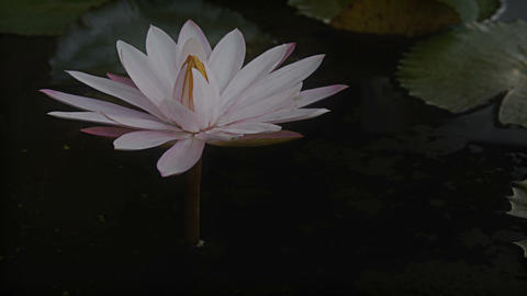 water lily flower Stock Video Footage