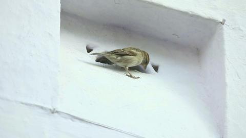Sparrow Stock Video Footage