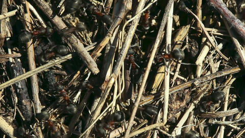 Ants nest Stock Video Footage