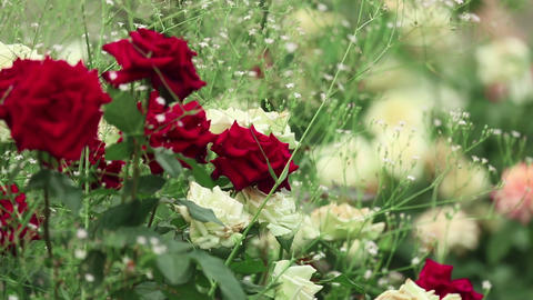Roses Stock Video Footage