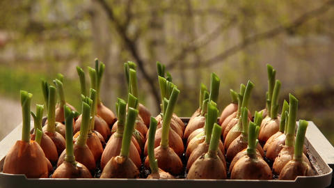 Growing onions in a garden 9a Stock Video Footage