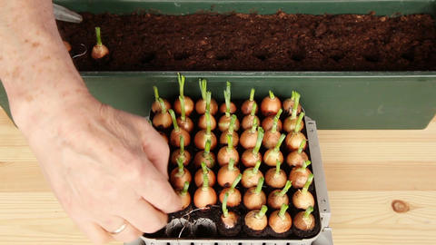 Seeding onions into the large pot 11a, time-lapse Stock Video Footage