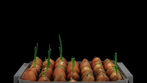 Time-lapse Of Growing Onions 12a2 stock footage