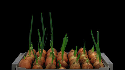 Time-lapse of growing onions 12a2 Stock Video Footage