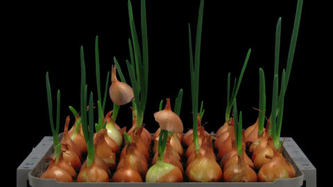 Time-lapse of growing onions 15a2 Footage