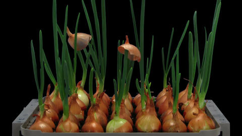 Time-lapse of growing onions 15a2 Stock Video Footage