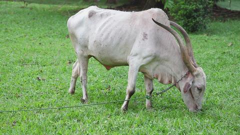 Bull eat grass Stock Video Footage