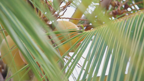 Coconuts on the palm Stock Video Footage