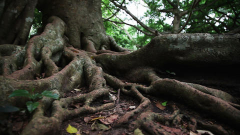 Tropical Tree Roots stock footage