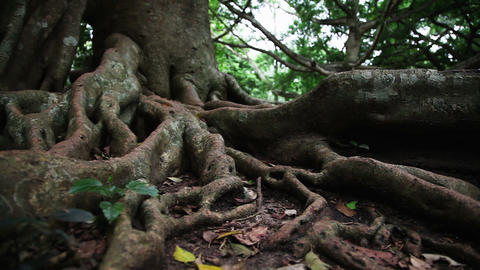 Tropical tree roots Stock Video Footage