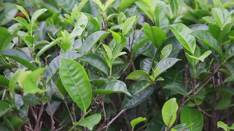 Tea leaves Stock Video Footage