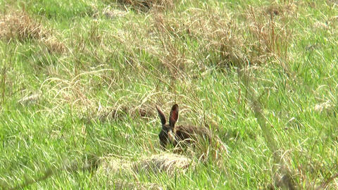 wild rabbit eating Stock Video Footage