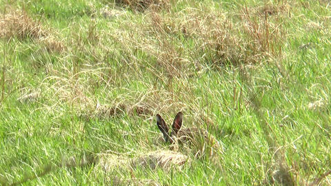 Wild Rabbit Eating stock footage