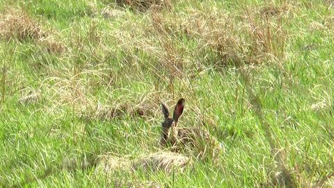 wild rabbit eating Stock Video Footage