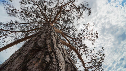Pine Tree, Time Lapse Stock Video Footage