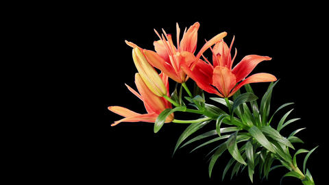 Blooming red lily flower Stock Video Footage