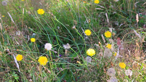 dandelions and grass Stock Video Footage