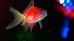 Goldfish Swimming 12 stock footage
