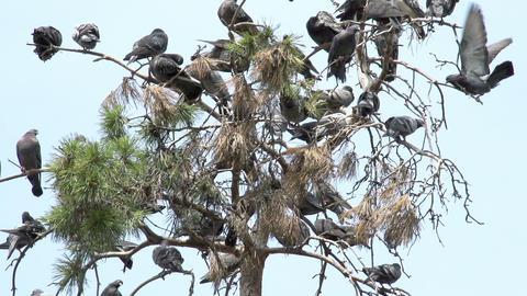 Urban Pigeons Footage