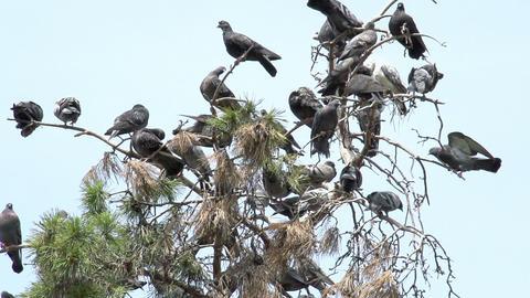 Urban Pigeons Stock Video Footage