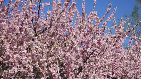 Spring Flowering Apricot Tree
