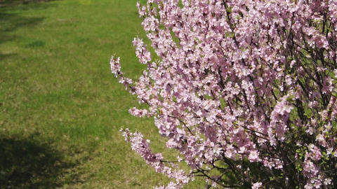 Flowering apricot bush, shaken wind 02 Stock Video Footage