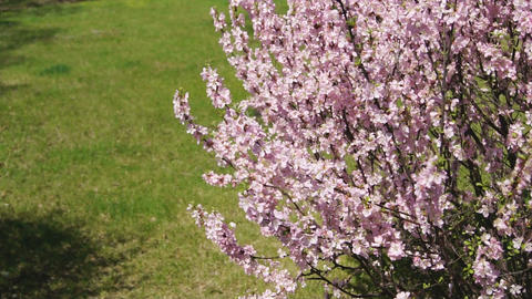 Spring Flowering Apricot Tree 0