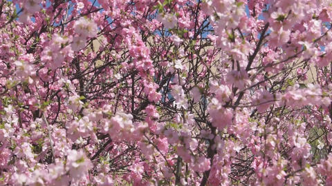 Flowering apricot tree 04 pan up Footage