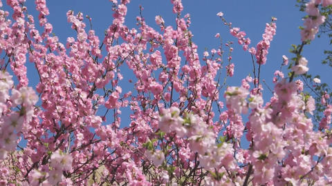 Flowering apricot tree 04 pan up Stock Video Footage