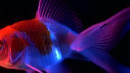Goldfish Swimming 13 stock footage