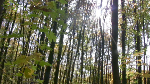 Panorama of the autumn forest Footage
