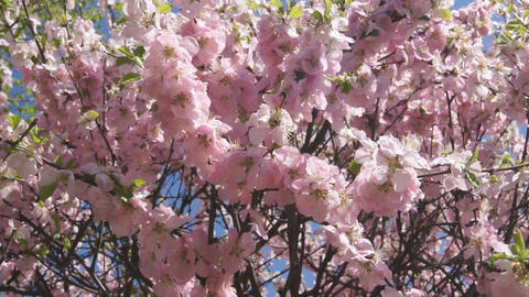 Flowering apricot tree 05 pan right Stock Video Footage
