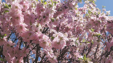 Flowering apricot tree 05 pan right Footage