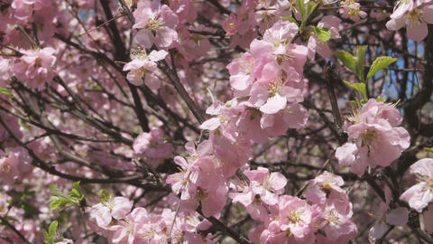Flowering apricot tree 07 close up Stock Video Footage