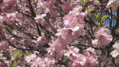 Flowering apricot tree 07 close up Footage