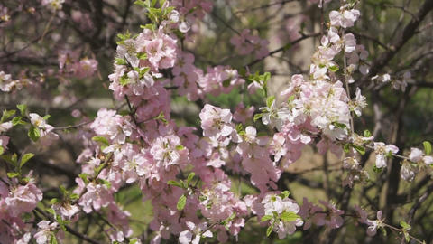 Flowering apricot tree 09 close up Stock Video Footage