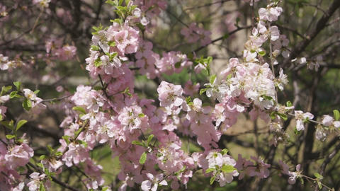 Flowering apricot tree 09 close up Footage